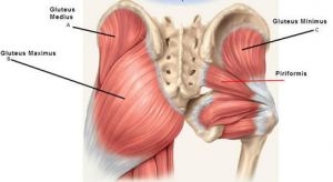 Diagram of the hip muscles, specifically showing the gluteus maximus and gluteus medius, muscles that are important in the game of golf. These muscles are involved in hip rotation and are critical for hip mobility.