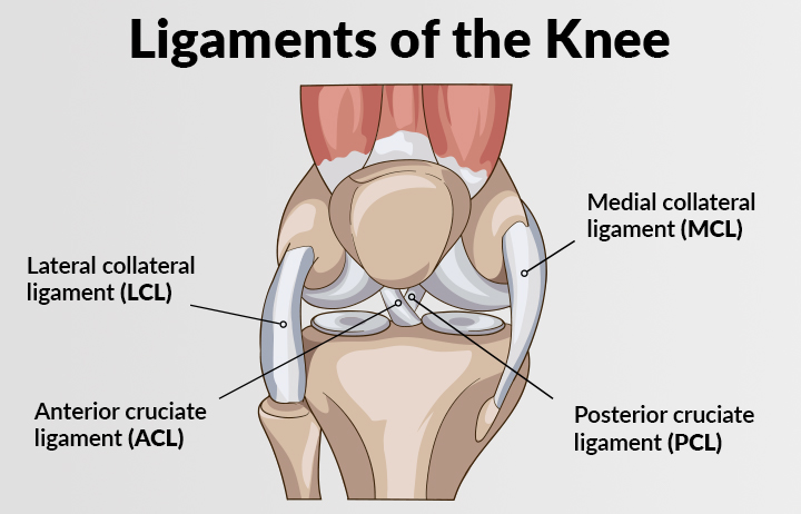 Picture showing the ligaments of the knee. The lateral collateral ligament, anterior cruciate ligament, medial collateral ligament, and posterior cruciate ligament are shown.